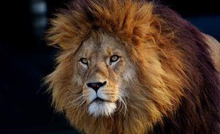 Le lion a réclamé de nombreuses caresses aux touristes. (illustration)