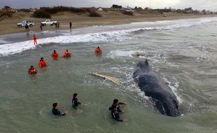Une baleine échouée depuis vendredi sur la plage de la station balnéaire de la côte atlantique argentine de Mar del Tuyu a été libérée, le 15 juillet 2016