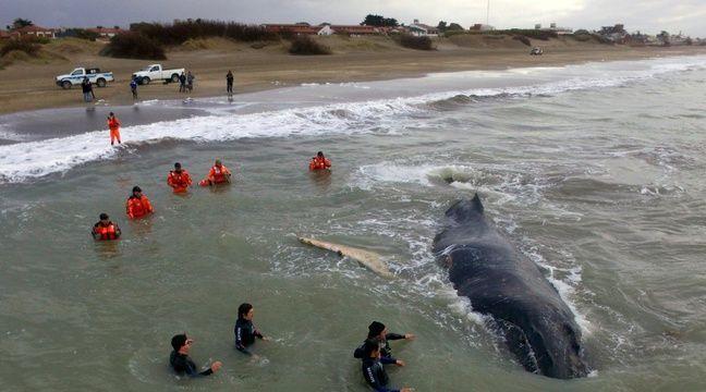 Une baleine échouée depuis vendredi sur la plage de la station balnéaire de la côte atlantique argentine de Mar del Tuyu a été libérée, le 15 juillet 2016 – HO Telam
