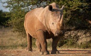 Un rhinocéros près de Vaalwater, dans la province de Limpopo, le 17 mars 2015 en Afrique du Sud