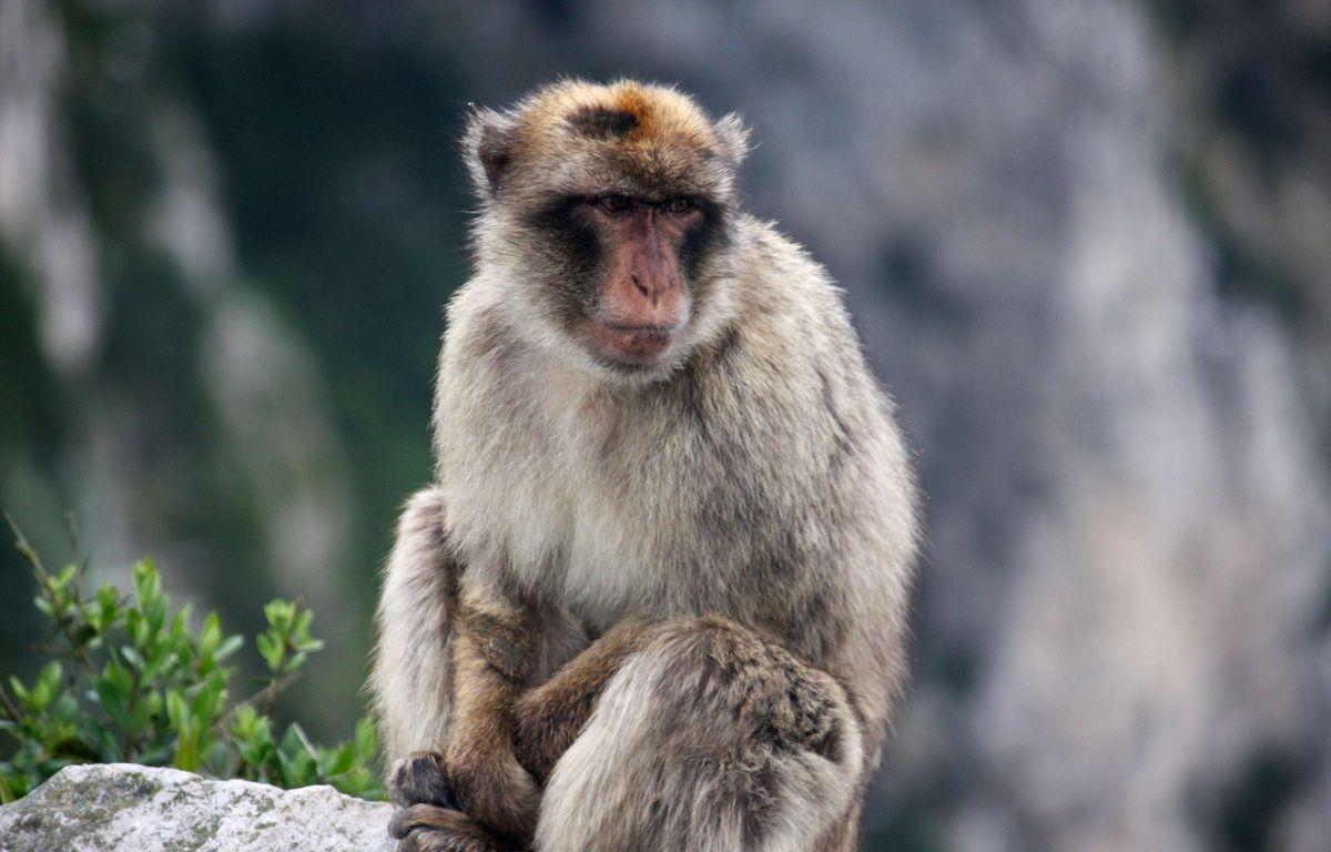 Un singe magot sur un rocher à Gibraltar, le 12 mai 2016. (Illustration) – Brian Witte/AP/SIPA