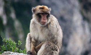 Un singe magot sur un rocher à Gibraltar, le 12 mai 2016. (Illustration)