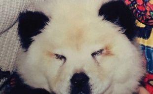 Un chien transformé en panda par un cirque italien.