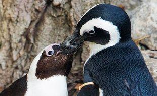 Pedro et Buddy, les deux manchots gays du zoo de Toronto.