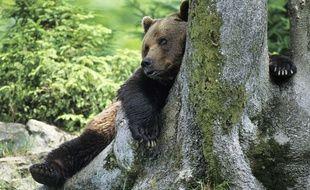La cohabitation entre ours et éleveurs se passe souvent mal dans les Pyrénées. Illustration.