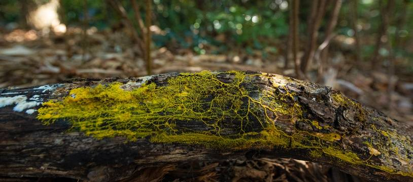 A l'état naturel, c'est dans les bois que vous aurez le plus de chance de croiser un blob. Cet être unicellulaire craint la lumière et adore l'humidité.
