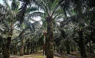 Un laboratoire malaisien tente de créer des palmiers à huile nains pour réduire les coûts et les dommages environnementaux de cette culture.