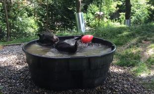 L'ours Takoda découvre les joies du bain au zoo de l'Oregon (Etats-Unis).