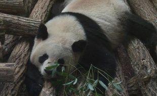 Un des deux pandas arrivés au zoo de Beauval en janvier 2012.