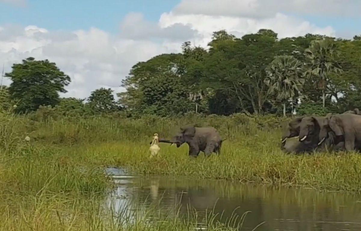 Un éléphant attaqué par un crocodile - Le Rewind  – capture d'écran