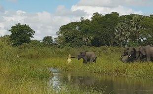 Un éléphant attaqué par un crocodile - Le Rewind