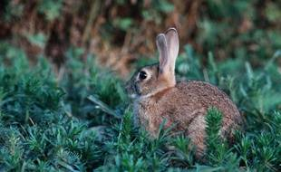 Illustration: Un lapin de garenne.