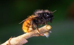 L'osmie cornue, l'une des espèces d'abeilles sauvages présentes dans toute l'Europe.