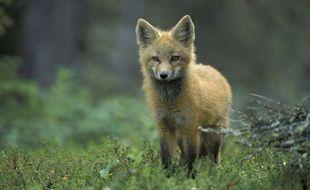 Un jeune renard.