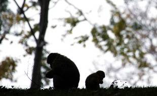 Deux macaques sont encore en semi-liberté sur le site des Landes, après l'euthanasie de 150 de leurs congénères.