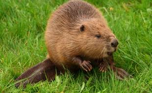 Le castor d'Eurasie va être réintroduit au Royaume-Uni. (illustration)