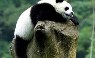 Un panda âgé d'un an fait la sieste sur un arbre au centre de recherche sur le panda de Wolong (Chine), le 6 septembre 2002