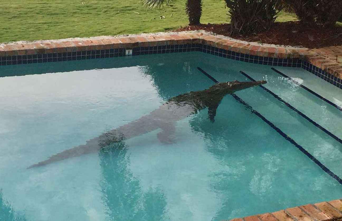 Etats unis il trouve un crocodile de 2 40 m dans sa piscine for Photos de piscine