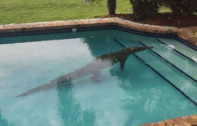 Etats unis il trouve un crocodile de 2 40 m dans sa piscine for Attaque de crocodile dans une piscine