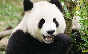 Un panda géant (Ailuropoda melanoleuca) dans la province du Sichuan en Chine.