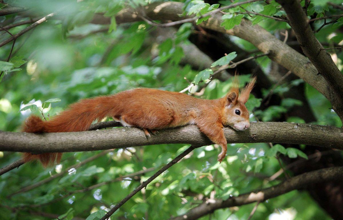 Illustration: Un écureuil se repose sur une branche. – Fredrik von Erichsen/AP/SIPA