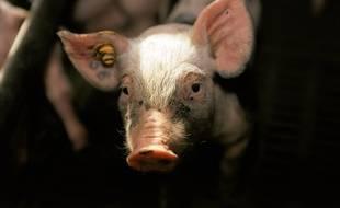 La peste porcine