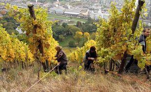 Vendanges encordées dans les vignes de Rangen, dans le Haut-Rhin, le 21 octobre 2013.