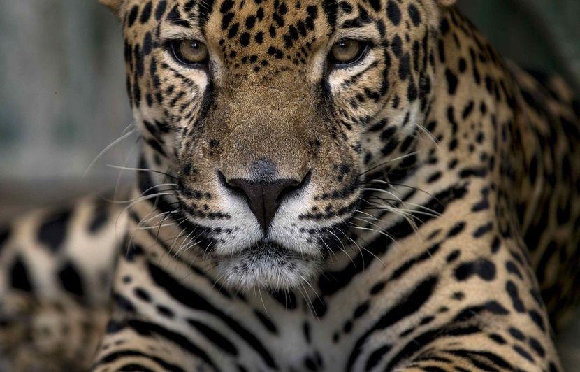 Brésil: Un braconnier interpellé aurait tué plus de mille jaguars depuis 1987