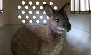 Les pompiers ont capturé le wallaby dans la nuit de mardi à mercredi.