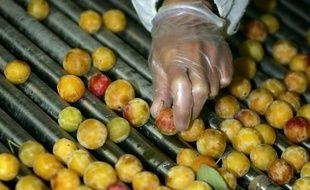 """Les producteurs de mirabelles de Lorraine, dont la cueillette démarre cette semaine, s'attendent à une saison """"exceptionnelle"""""""