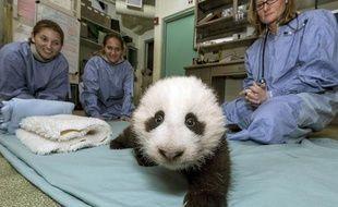 Le bébé panda né au zoo de San Diego en juillet 2012, le 18 octobre 2012.