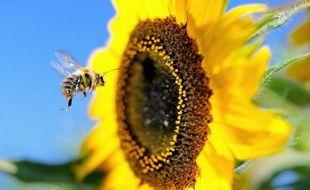 La pollinisation par les abeilles et autres insectes est indispensable à la survie de la majorité des plantes à fleurs