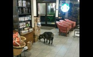 Une chèvre à la recherche de café.
