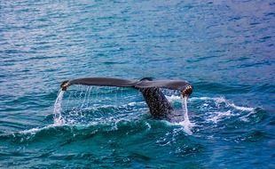 Une baleine (illustration)