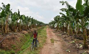 Une plantation de bananes près de Dabou, à 45 kilomètres d'Abidjan, le 7 juillet 2016