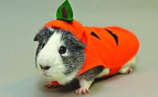 Un costume de citrouille pour cochon d'Inde vendu par le site américain Pet Smart.