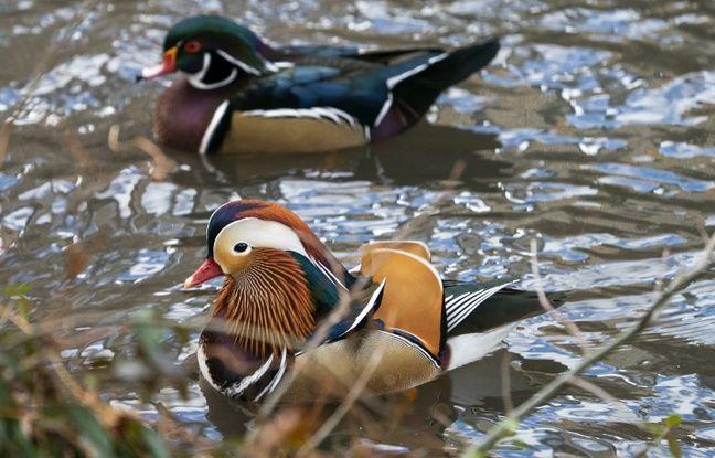 Le canard mandarin appartenant à la famille des anatidés est originaire d'Asie du Nord-Est.