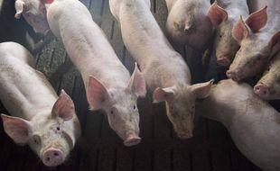 Illustration d'un élevage de cochons en Bretagne.