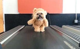 Capture d'écran d'une vidéo montrant Munchkin, une petite chienne shih tzu déguisée en ourson.