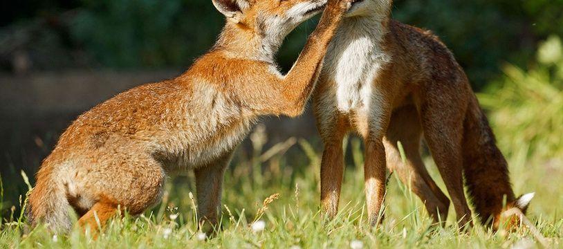 Des renards ont été observés à Lille (illustration).