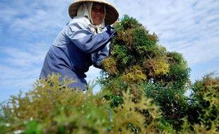 Les algues sont très consommées dans les pays asiatiques.