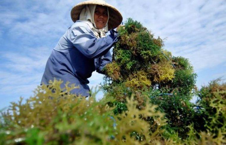 """Bientôt des algues dans l'assiette? Plutôt mal perçu, ce """"légume de la mer"""" encore sous-exploité en France recèle un fort potentiel de croissance sur le marché de l'agro-alimentaire, prédisent chercheurs et entrepreneurs qui se sont lancés à la conquête de cet eldorado."""