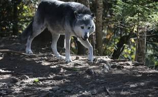 Un loup du Parc Alpha