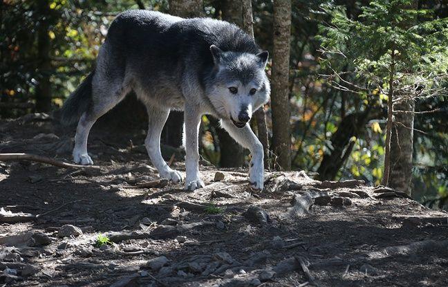 Un loup du Parc Alpha.