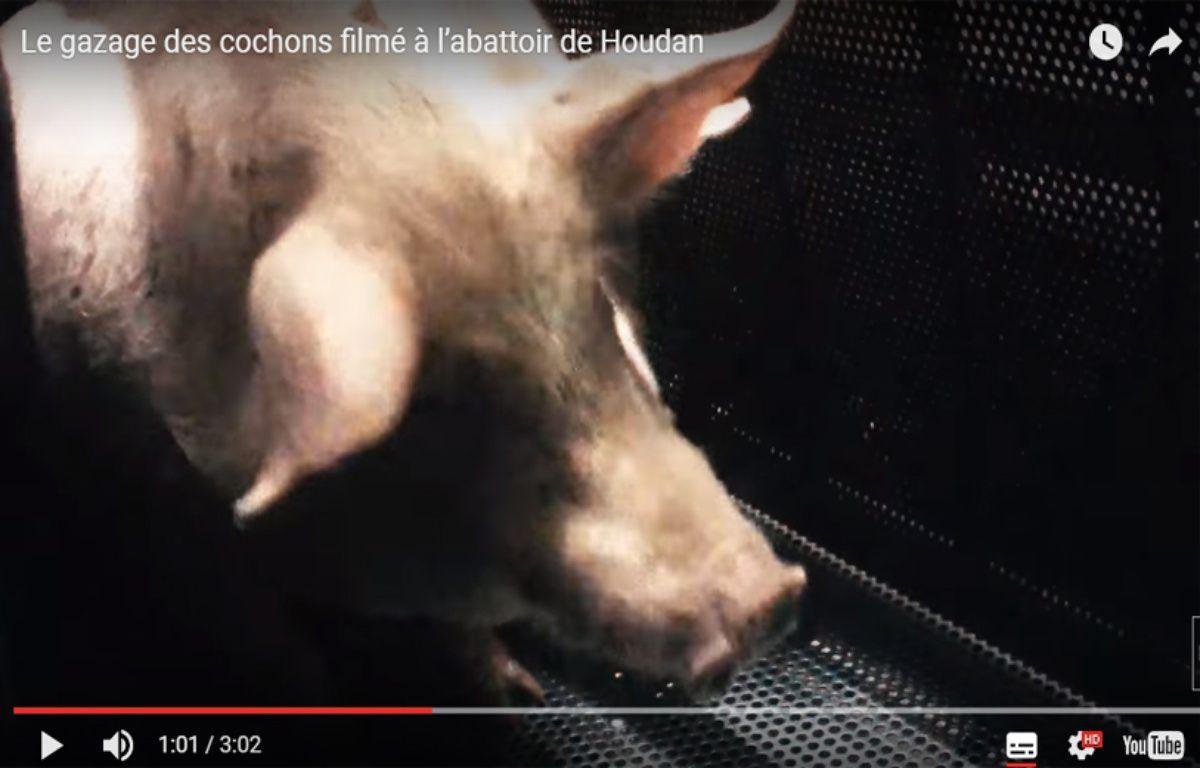 De nouvelles images montrent la souffrance des porcs gazés dans l'abattoir de Houdan (Les Yvelines). – Capture d'écran / L214