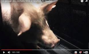 De nouvelles images montrent la souffrance des porcs gazés dans l'abattoir de Houdan (Les Yvelines).