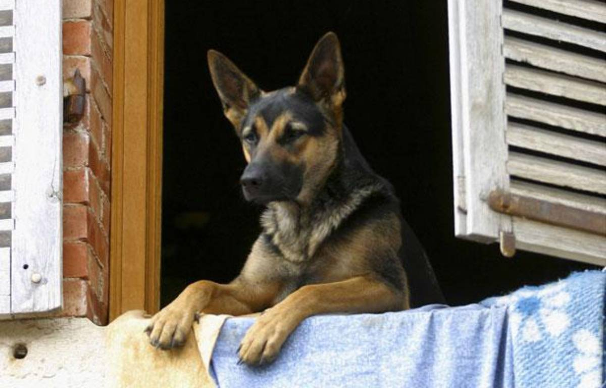 femme d vor e par son chien nevers le berger allemand. Black Bedroom Furniture Sets. Home Design Ideas
