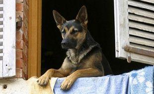 Un berger allemand qui regarde par la fenêtre.