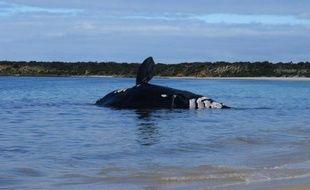 La carcasse d'une baleine franche australe présentant de multiples morsures de requin s'est échouée sur une plage australienne, ont annoncé jeudi des biologistes qui vont pouvoir enrichir leurs connaissances sur cette espèce rare
