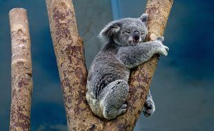 Un koala (illustration).